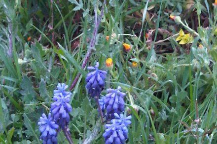 wildflowers_vineyard_recaredo